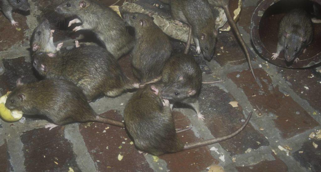 уничтожение крыс в Благовещенске